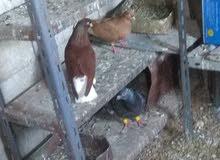 جوز نوريات للبيع او البدل ع طيور حمام