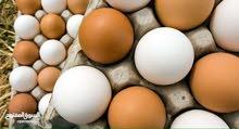 مطلوب  بيض  دجاج بالجملة