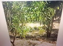 مزرعة 12 فدان مزروعين مانجو وبها رى نهرى