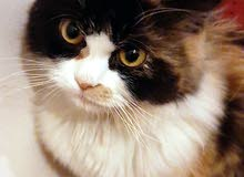قطه للتبني نوعها شيرازي