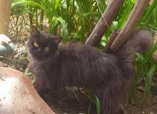 قطة أنثى للبيع رجاء التواصل واتساب لمعرفة المزيد