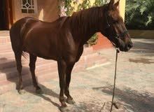 حصان انجليزي مخصلي