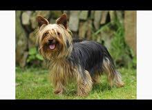 Yorkshire dog  for saleكلب يورك شير للبيع عمر 5 اشهر