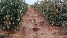 مزرعه 30 فدان بموقع متميز جدا علي طريق مصر اسيوط الغربي علي الاسفلت مباشرا تبعد