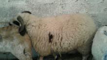 خروف البيع
