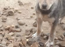 كلب هاسكي عن عمر شهرين ونصف