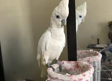 للبيع طائر كوكاتو صغير في السن