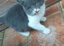 قطط مجنسات عربي وفارسي