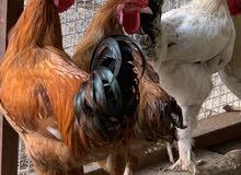 ارقى أنواع الدجاج العملاق املقح اول أبياضه