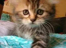 قط شيرازي انثى