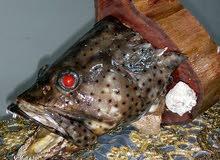 رأس سمكة محنطة للبيع