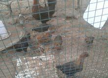 دجاجة عربية تحتها 9 فلاليس فيومي ذهبي صرمان