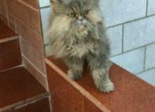 للبيع قطة انثى بيور