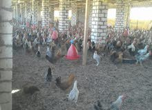 فرصه حقيقة مزرعه دواجن للإيجار على طريق مصر أسيوط الغربي 45كم من الهرم