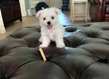Quality Male and Female Maltese puppies Looking for good homes