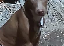 كلب بيتبول أنثى للبيع