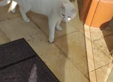 قط ذكر وقطه انثي للبيع بسعر 50 دينار