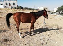 حصان نخب للببع