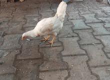 دجاجه هرفيه