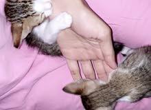 two kitten for free adoption