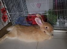 ارنب كبير عمره سنتين
