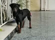 كلب روت وايلر العمر سنتين و4شهور غير شرس طاعة فول