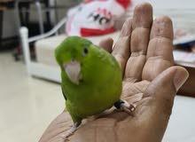 American Pocket Bird fully tame