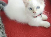 قطط شيرازي cat for sale