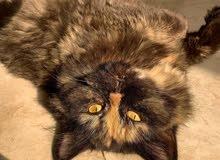 قطط للبيع ذكر وأنثى