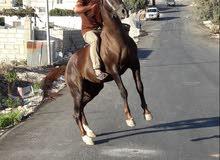 احصان لون خروبي العمر اربعه ونص