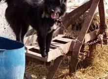 كلب أرمنت للبيع لهواه الفخامه والشراسه
