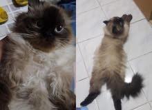 Hymalian cat for sale.... قط همالايا للبيع