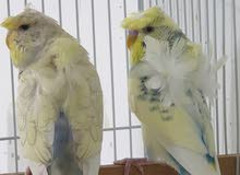 طيور هند هوقو