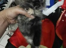 3 قطط شيرازي للبيع ب 1200 فقط !