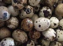 بيض فري (سمان) الحجم الجامبو ب نص درهم يصلح للتفقيس والأكل