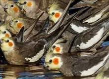 مطلوب بيض طيور الكوكتيل