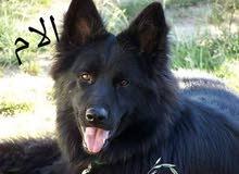 كلبه بلاك جاك للبيع او اتبديل ببغاء او ايفون انضيف
