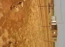 مزرعة للبيع شرق النيل الضريساب