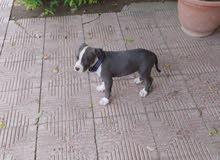 جرو بيتبول pitbull puppy