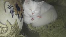 قط شيرازي أبيض