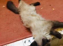 قطة ضائعة