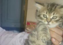 قطط بيور 55 يوم