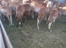 50 راس نعاج سودانية