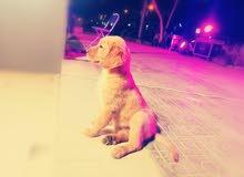 2 Months Old Golden Retriever Puppy
