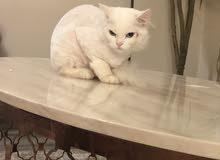 قطه شيرازية لعوب للبيع