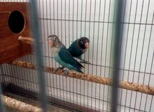 زوج لوف بيرد love bird