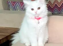 قطة شيرازي .انثى