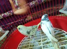 طيور الفيشر التنين ب 15 دينار