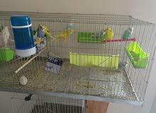 عصافير استرالي مع اقفاص