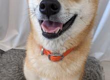 Shiba Inu - Female - Friendly - Trained in letterbox  شيبا إنو